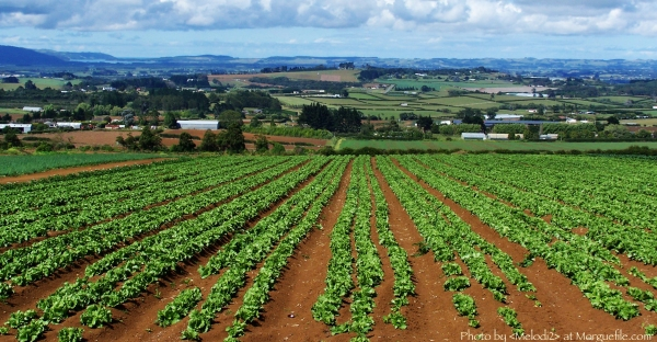 kale-and-leafy-green-plantations